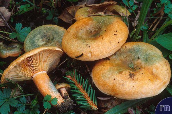 Russulales News / Lactarius deterrimus.