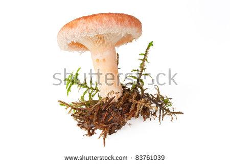 Lactarius Torminosus Stock Photos, Royalty.