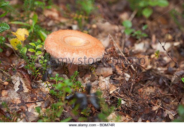 Mushroom Lactarius Deliciosus Stock Photos & Mushroom Lactarius.