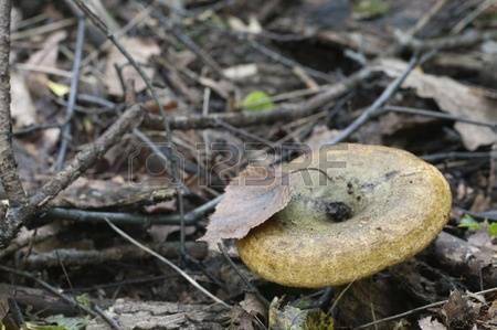 Delicious Lactarius Stock Photos Images. Royalty Free Delicious.