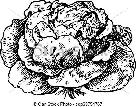 Clip Art Vector of Lettuce (Lactuca sativa), vintage engraving.