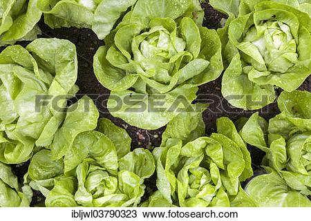 Stock Photo of Raindrops on fresh green Lettuce (Lactuca sativa.