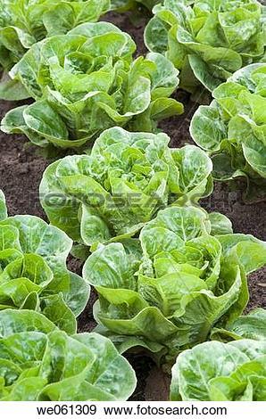Stock Photograph of Lettuce (Lactuca sativa var. romana.