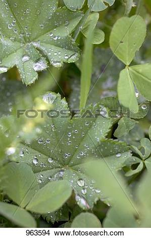 Stock Photo of Lady's mantle leaves with drops of water in.