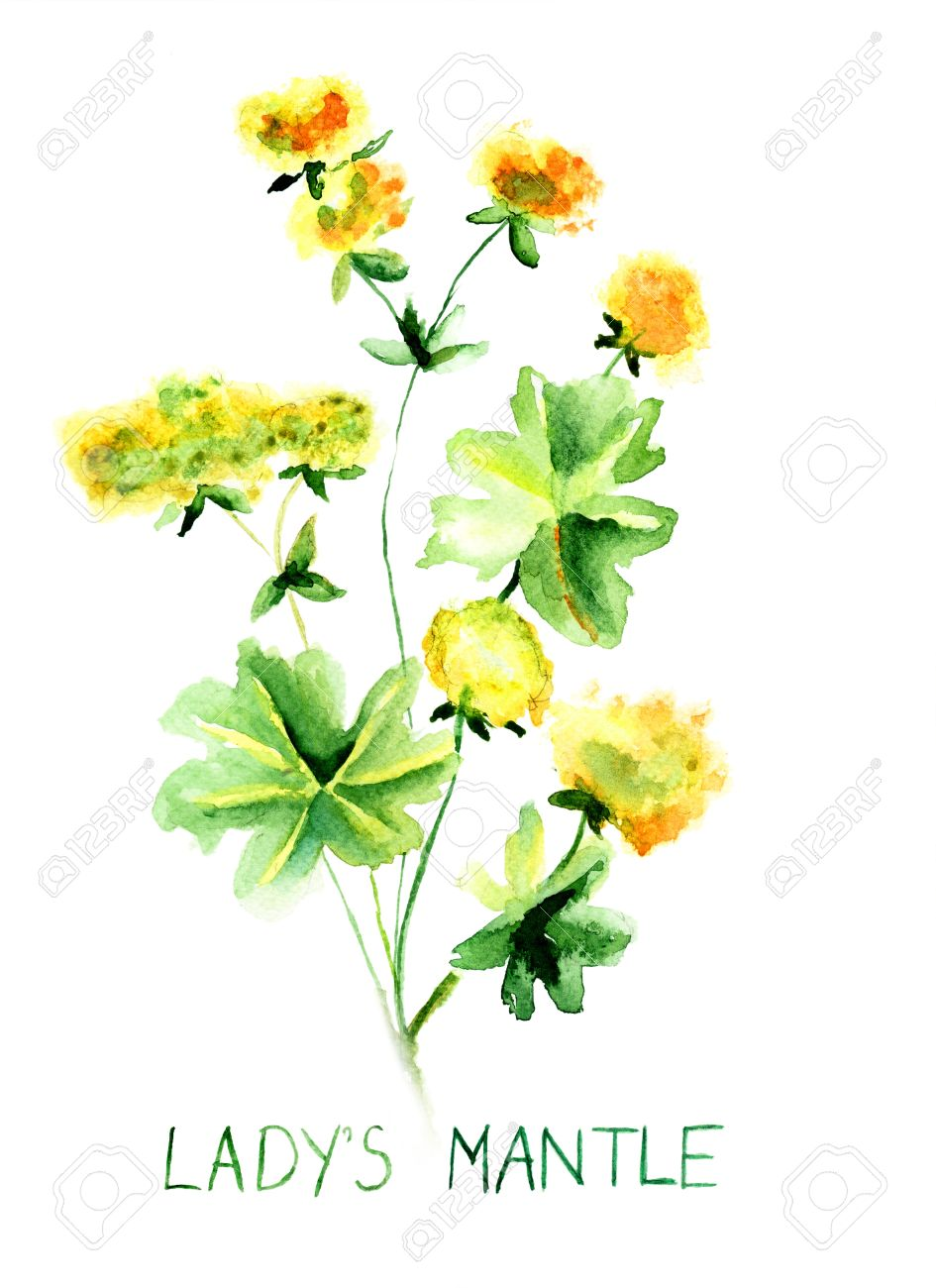 Ladys Mantle Herb, Watercolor Illustration Stock Photo, Picture.