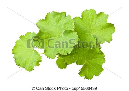 Stock Photos of Lady's Mantle leaves isolated on white csp15568439.