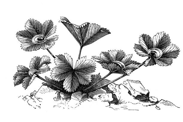 Lady's Mantle Clip Art, Vector Images & Illustrations.
