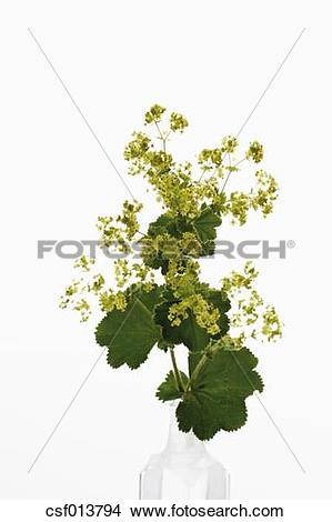 Stock Photo of Lady's mantle on white background csf013794.