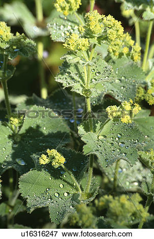 Picture of lady's mantle, perennials, alchemilla mollis, green.