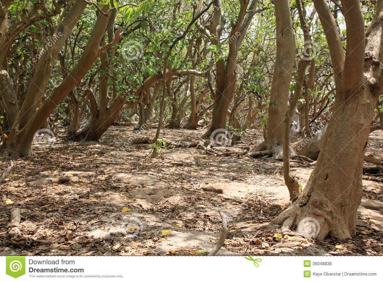 Pisonia Trees On Lady Musgrave Island Royalty Free Stock Photos.