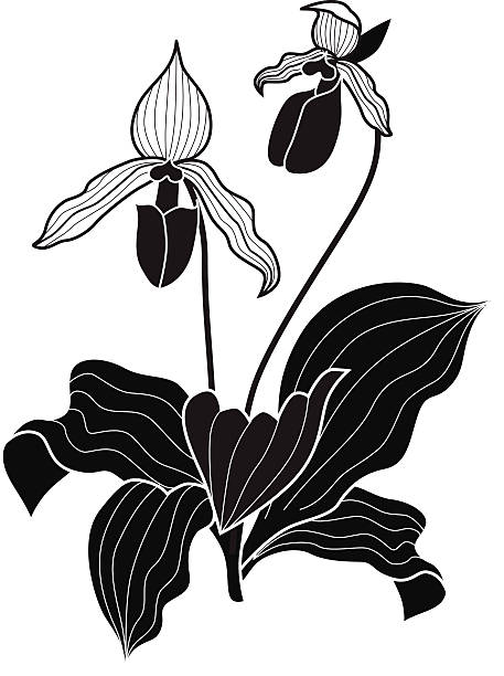 Best Lady Slipper Orchid Illustrations, Royalty.