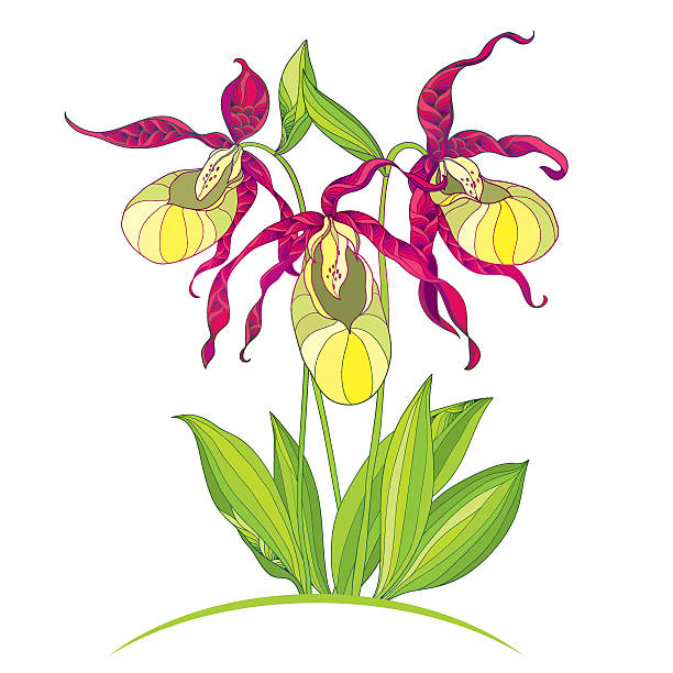 White Lady Slipper Illustrations, Royalty.