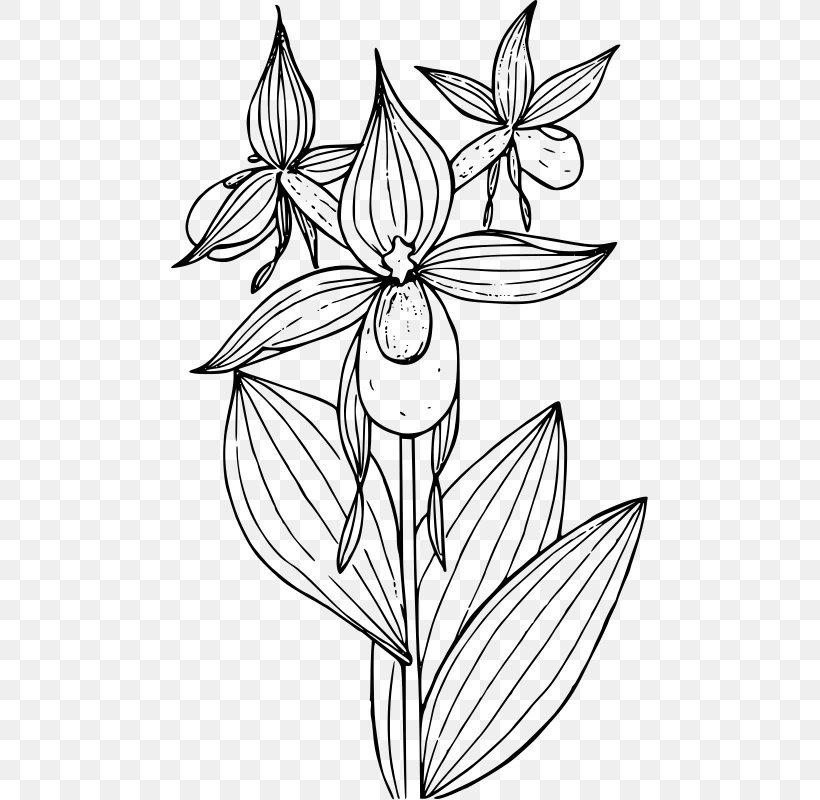 Lady\'s Slipper Orchids Cypripedium Reginae Cypripedium.