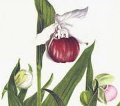 Free Lady Slipper Clipart.