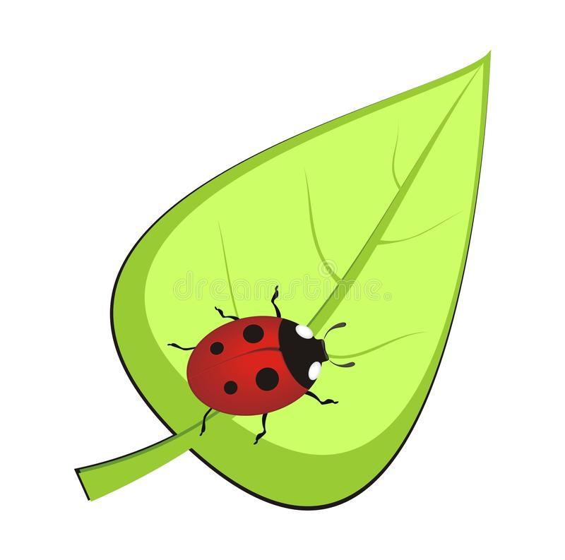 Ladybird Leaf Stock Illustrations.
