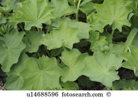Alchemilla vulgaris Stock Photos and Images. 56 alchemilla.