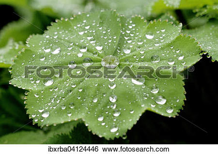 Stock Images of Lady's Mantle (Alchemilla sp) with dew drops.