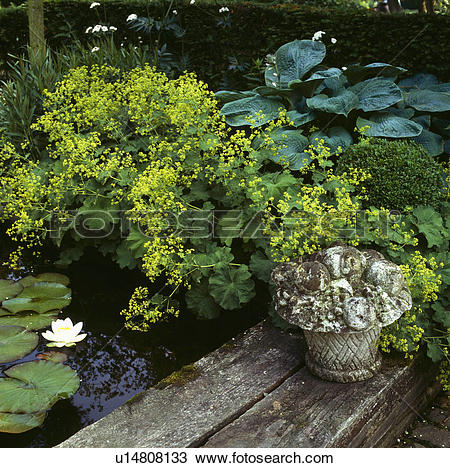 Stock Photo of Hostas, lady's mantle and white waterlillies at the.