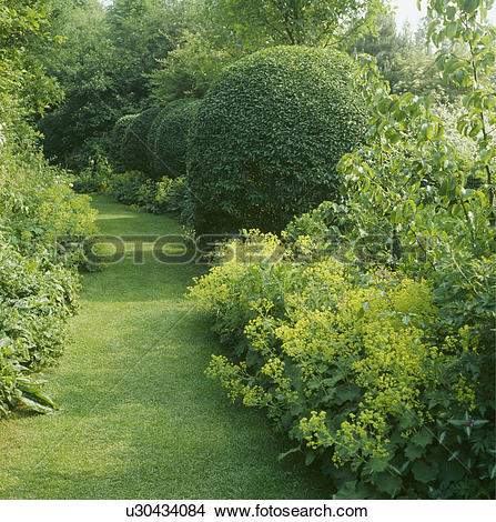 Stock Photo of Shady grass path lined with lady's mantle and an.