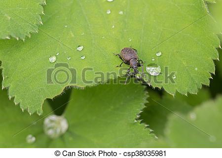 Pictures of Small brown European beetle, Black Vine Weevil, on.