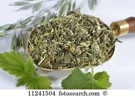 Alchemilla mollis Images and Stock Photos. 91 alchemilla mollis.