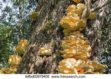 "Stock Image of ""Sulphur Polypore, or Sulphur Shelf (Laetiporus."