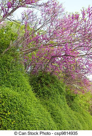 Stock Images of Trees with pink flowers.