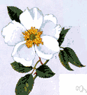 Rosa laevigata.