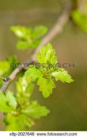 Pictures of Midland hawthorn (Crataegus laevigata). x8p.