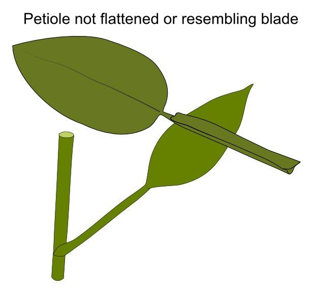 petiole_not_flattened.jpg.