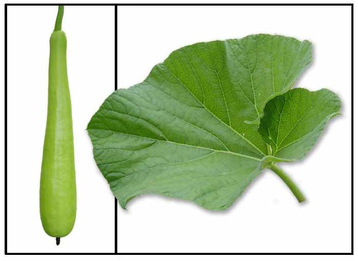 Upo / Lagenaria siceraria / BOTTLE GOURD, WHITE PUMPKIN.