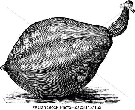 Clip Art Vector of Bottle gourd or Lagenaria siceraria vintage.
