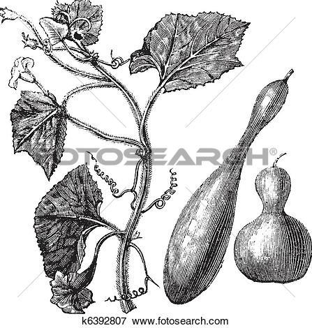 Clip Art of Calabash or Lagenaria vulgaris vintage engraving.