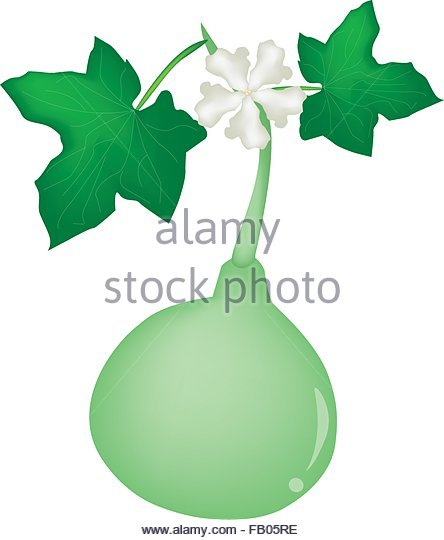 White Flower Gourd Lagenaria Siceraria Stock Photos & White Flower.