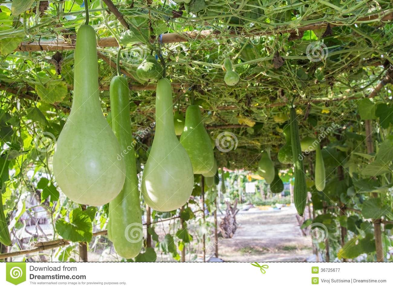 Green Bottle Gourd Hanging On Vine. Royalty Free Stock Photography.