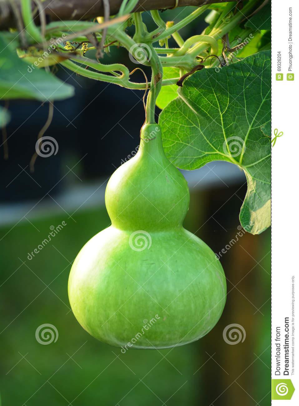 Lagenaria Siceraria Fruit Stock Photo.