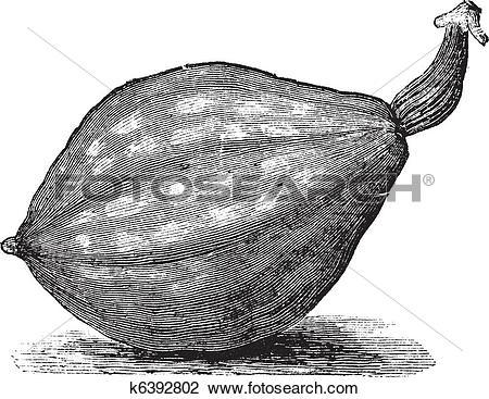 Clipart of Bottle gourd or Lagenaria siceraria vintage engraving.