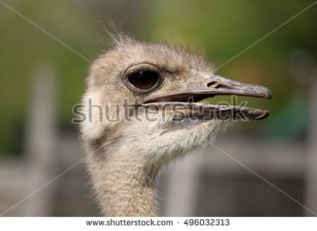 Head Ostrich Stock Photos, Royalty.