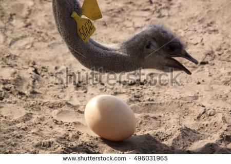 Ostriches Stock Photos, Royalty.
