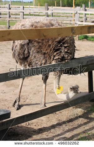 Ostrich Stock Photos, Royalty.