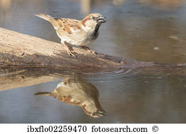 House sparrow Stock Photo Images. 1,809 house sparrow royalty free.