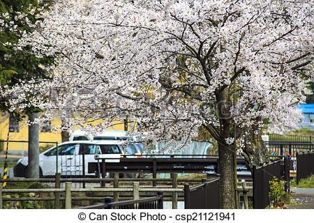 Stock Photo of Sakura season in Japan.