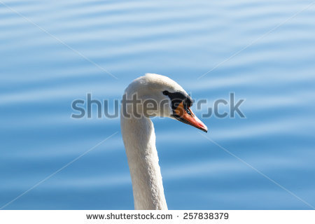 Closeup Swan Swimming Stock Photos, Images, & Pictures.