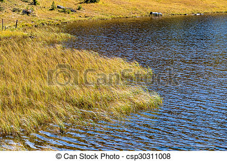 Stock Photography of reeds on the shore of a lake, symbool for.