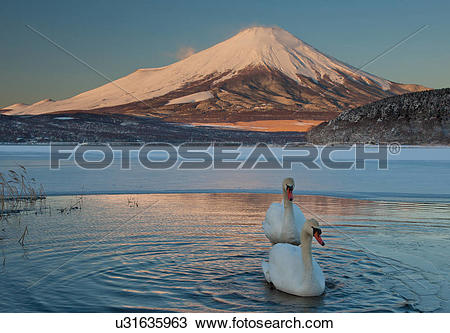 Stock Photo of A pair of mute swans in Lake Kawaguchi disrupt the.