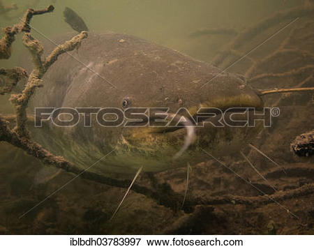 "Picture of ""Wels catfish (Silurus glanis) in Lake Ossiach, Villach."