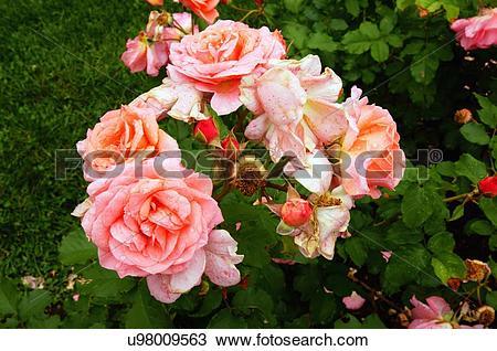 Stock Photo of rose kiss me lim tunney 2006 lake harriet garden.