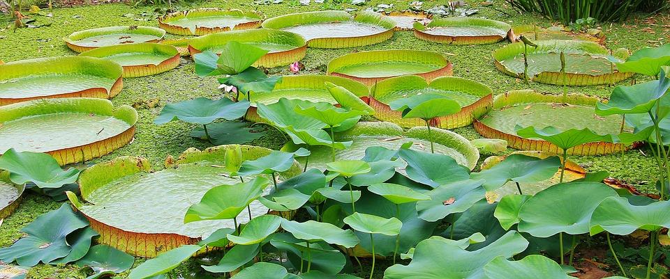Free photo Seerosen Plate Lily Pad Victoria Lake Rosengewächs.