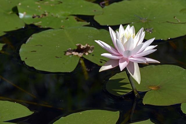 Free photo Lake Rosengewächs Lily Pad Victoria Seerosen Plate.