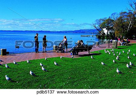Picture of gull, park, day, New Zealand, animal, Rotorua, Rotorua.